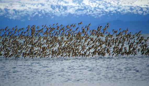 Shorebird flock in Kachemak Bay by Carla Stanley