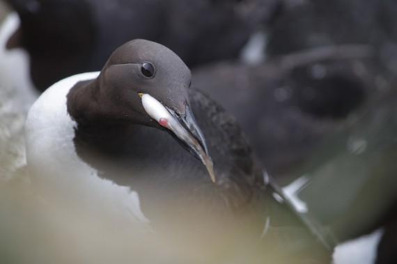 Common Murre Holding Fish in its Bill