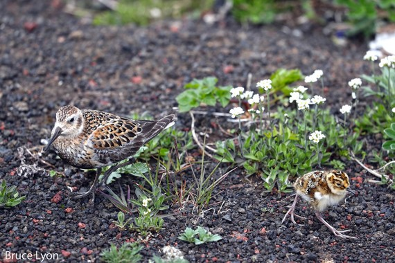Rock Sandpiper Adult and Chick in Tundra Gravel and Grass