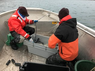 two biologists in a boat pulling in a gillnet