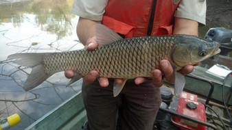 a biologist holding a grass carp