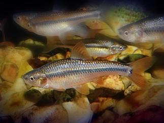 topeka shiner and orange spotted sunfish
