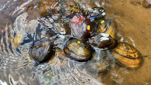 higgins eye mussels tagged for release