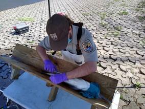 FWS biologist inserts telemetry tag