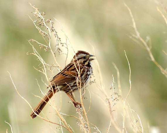A song sparrow spotted in the Prairie Pothole Region of North Dakota in the spring of 2017. Photo: Rick Bohn/USFWS