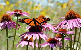 Monarch butterfly by Jim Hudgins/USFWS