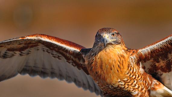 Ferruginous hawk by Bill Gracey/https://flic.kr/p/dL2R4s
