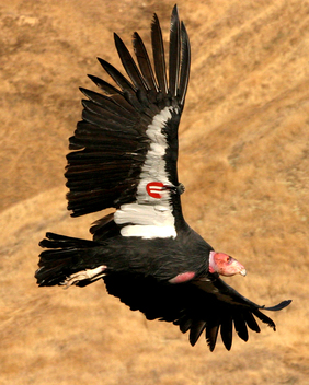 California Condor by USFWS
