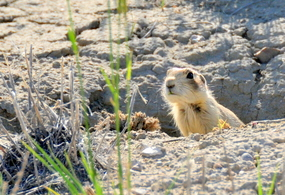 White-tailed prairie dog at Seedskadee and Cokeville Meadows National Wildlife Refuges by Tom Koerner/USFWS