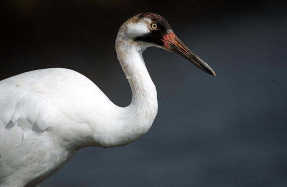 This juvenile whooping crane has almost all of its adult feathers and coloration. Photo: Ryan Hagerty/USFWS
