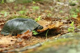 Blanding's Turtle by USFWS