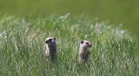 Uinta ground squirrels by Ann Hough/USFWS