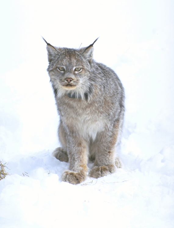 A Canada lynx spotted in the snow by Steve Torbit.