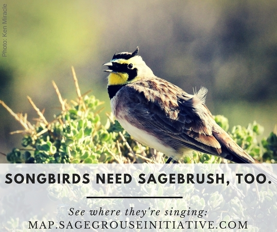 Songbirds need sagebrush too. See where they're singing: map.sagegrouseinitiative.com