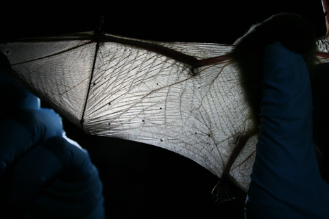 Scientists inspect a bat's wing for deadly white-nose syndrome. Photo: Ann Froschauer/USFWS