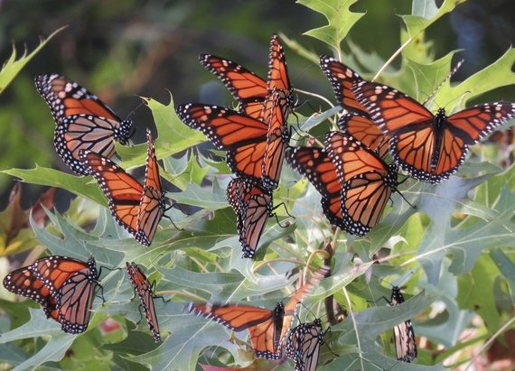 Monarch butterflies roosting in an oak tree by Jessica Bolser/USFWS