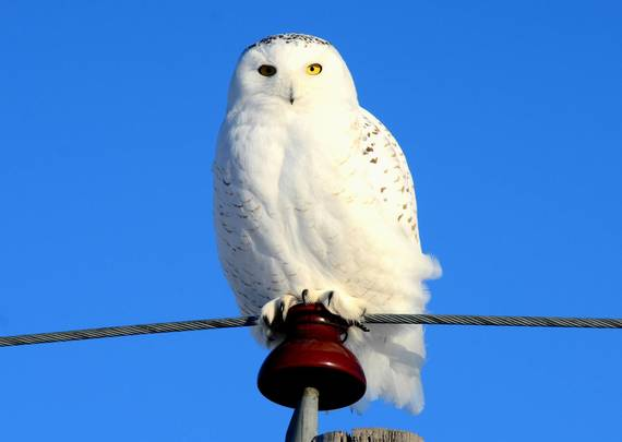 Snowy owl by Rick Bohn