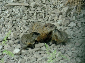 Photo: A groundhog mother with two young by Veronica Kelly/USFWS