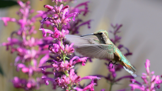 A broad-tailed hummingbird feeding on Agastache by Ryan Moehring/USFWS