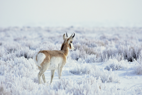 A pronghorn buck at Seedskadee National Wildlife Refuge in Wyoming by Tom Koerner/USFWS