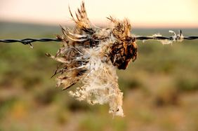 Evidence of a fence collision (possibly from a young great horned owl) by Tom Koerner/USFWS