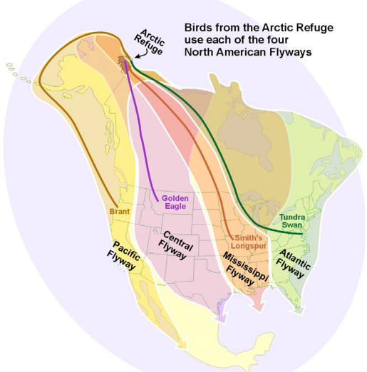 There are four migratory flyways used by birds in North America: the Atlantic, Mississippi, Central, and Pacific Flyway. Image: USFWS