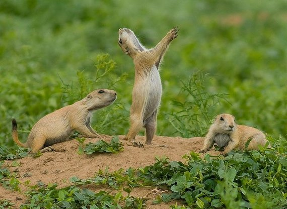 A prairie dog exhibiting a jump-yip display at Rocky Mountain Arsenal National Wildlife Refuge in Colorado by Rich Keen/DPRA