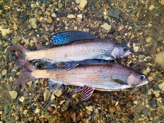 A male (upper) and female (lower) Arctic grayling at Red Rock Creek, Montana by Jim Mogen/USFWS