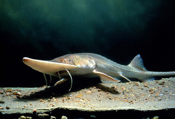 A pallid sturgeon by Ken Bouc/Nebraska Game and Parks Commission