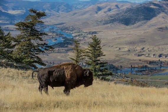 Bison on the National Bison Range
