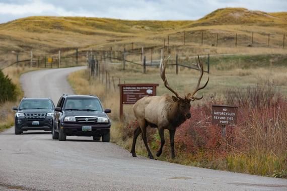 Elk at the National Bison Range in Montana by Dave Fitzpatrick/USFWS
