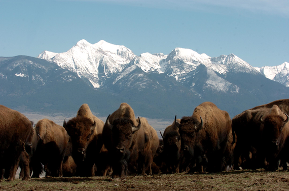 A herd of bison on the National Bison Range in Montana. Photo: USFWS