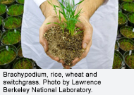 Brachypodium, rice, wheat and switchgrass. Photo  by Lawrence Berkeley National Laboratory.