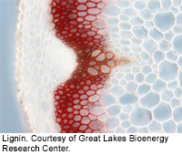 Lignin. Courtesy of Great Lakes Bioenergy Research Center