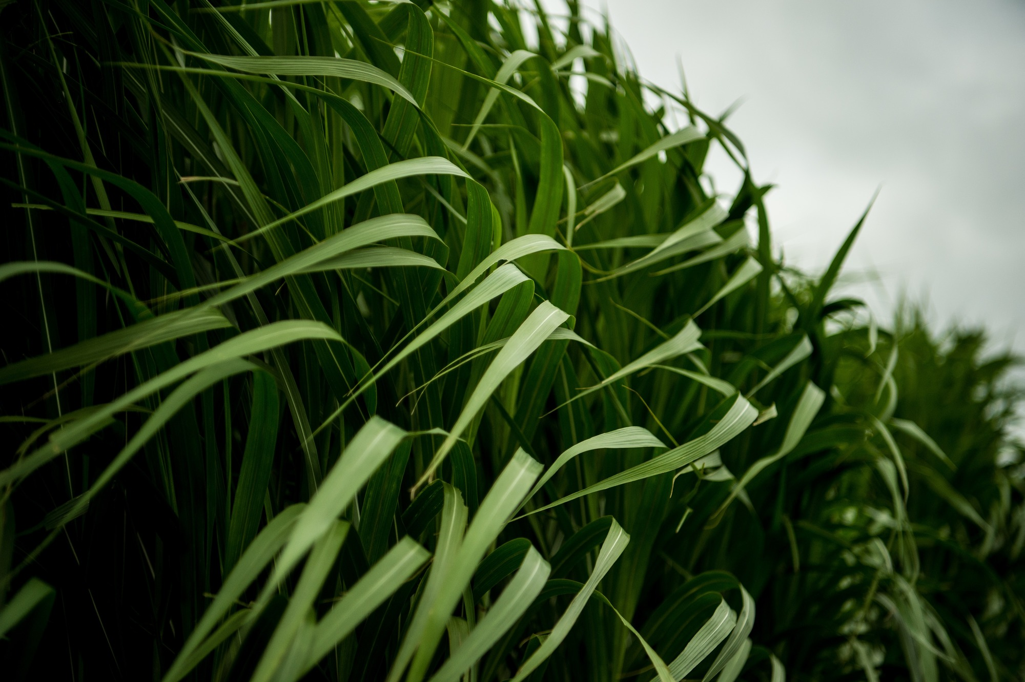 beto_miscanthus, used as a biofuel and carbon capture system