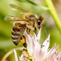 Honey bee pollinating a flower