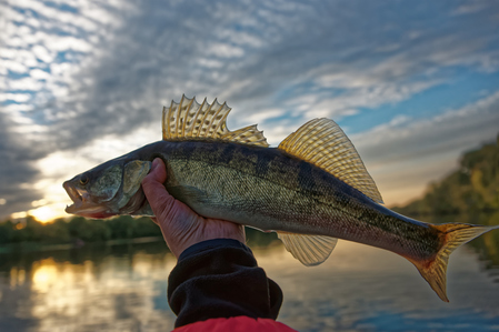 Ecosystem benefits include recreation, food, and culture. All three are linked to the health of walleye (pictured) and other fish populations.