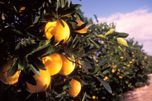 Oranges growing on trees
