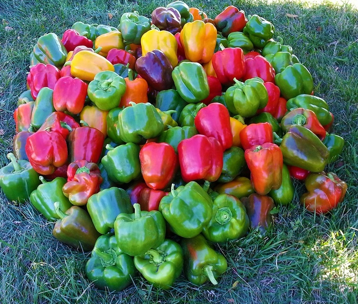 Pile of red and green bell peppers
