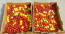 Box full of cherry tomatoes