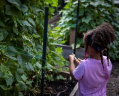 Girl picks a green bean from school garden