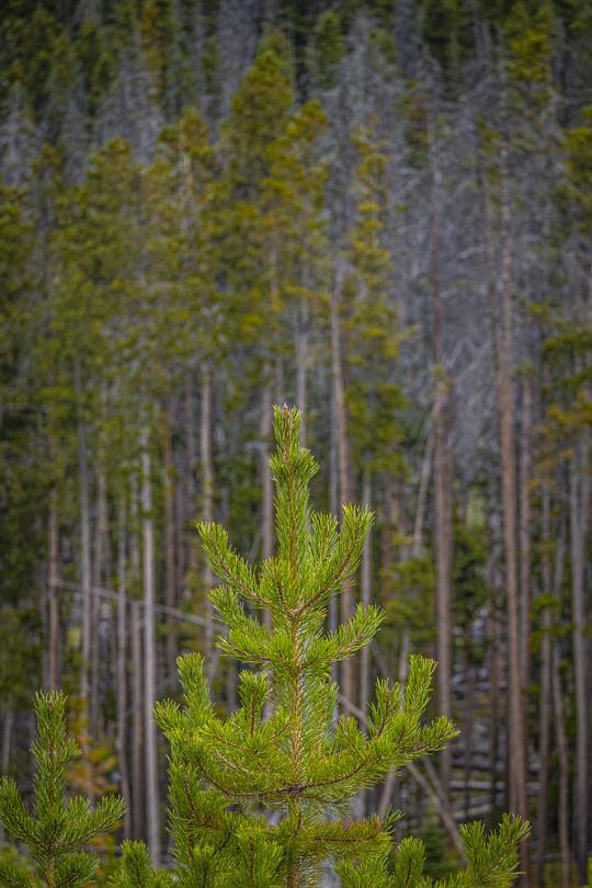 pine_
