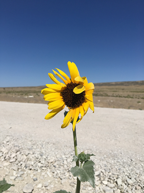 Sunflower growing in harsh conditions.