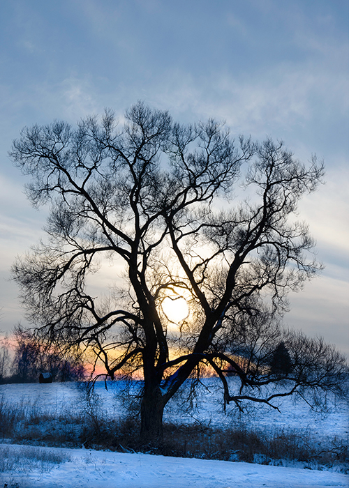 2 winter trees branches intertwine to make a heart shape.