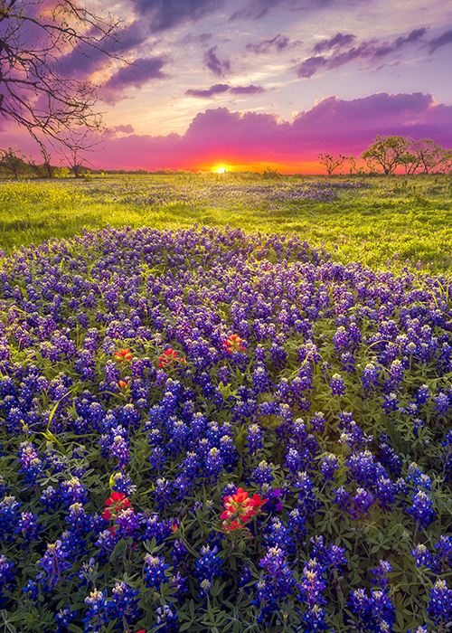 Bluebonnet flowers growing in a field with the sun rising in the distance.