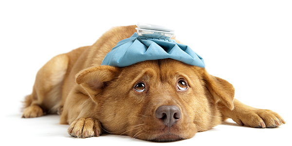 A dog lying down with a cold compress on its head.