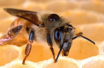 Honey bee with a Varroa mite on its back