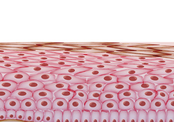 Skin cell layers