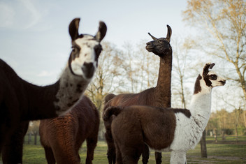Llamas on a farm