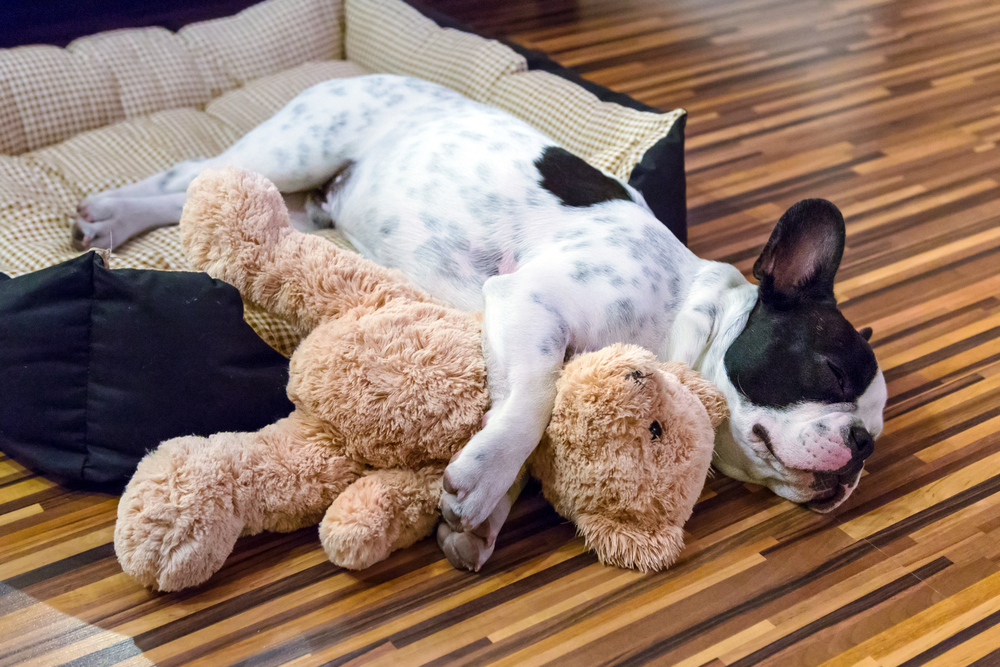 black and white dog sleeping in a dog bed with front let around a stuffed teddy bear